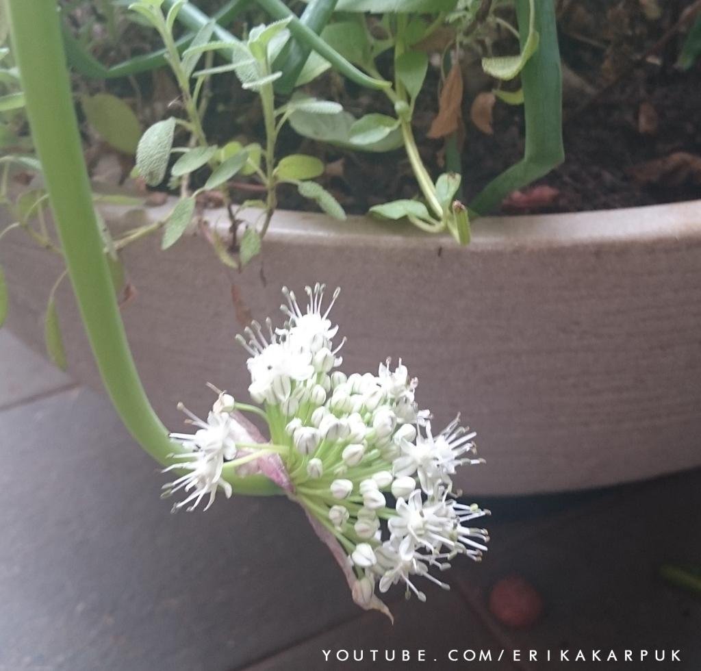 flor da cebola roxa em horta no ap por erika karpuk